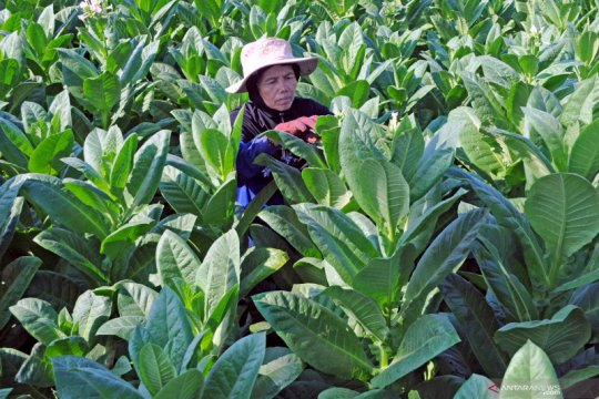 akar dan batang tembakau petani akan diserap AVB