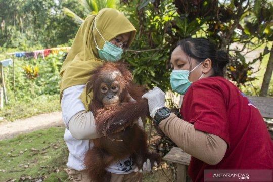 IAR Indonesia evakuasi orangutan yang dipelihara warga