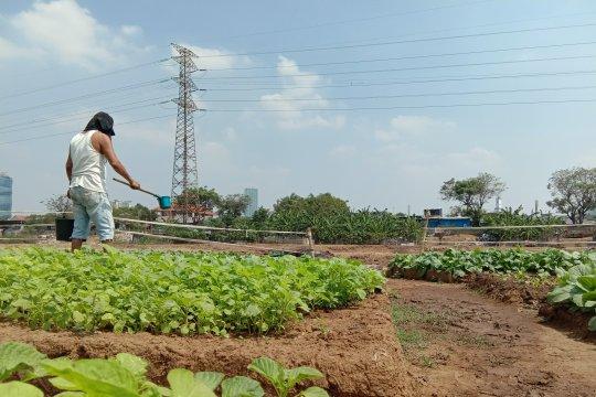 Warga Jakarta tanam sayuran di bantaran Sungai Ciliwung
