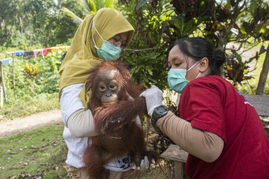 Bayi orang utan di Ketapang diselamatkan