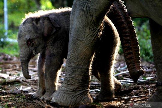 Kelahiran anak Gajah Sumatra