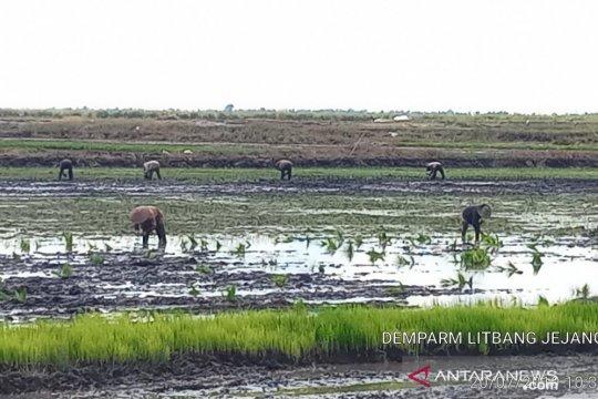 Balitbangtan kembangkan budi daya itik di lahan rawa