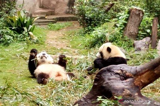 Kebun binatang Thailand pecahkan kasus kematian panda pinjaman China