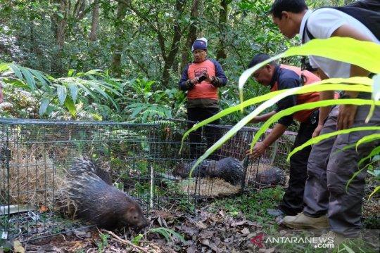 Enam landak jawa menjadi penghuni baru Taman Alam Danau Buyan