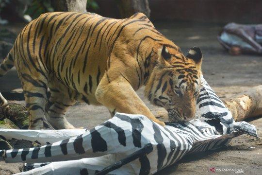 BKSDA sebut perburuan jadi ancaman kepunahan Harimau Sumatera