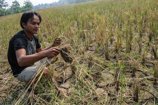 Ribuan hektare sawah di Lebak kekeringan