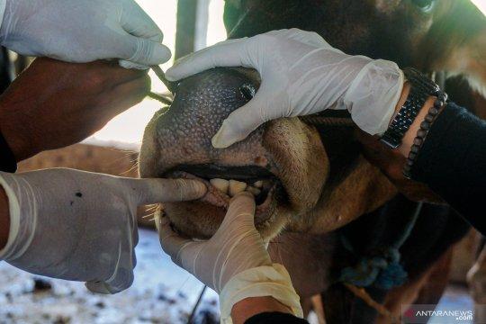 Petugas pemeriksa hewan kurban Tanah Datar datangi masjid dan pasar