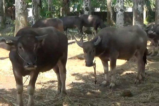 Omset Penjualan hewan kurban di Pandeglang meningkat