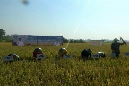Padi organik tingkatkan ekonomi petani