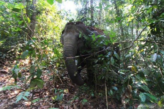 Tim BKSDA Riau giring rombongan gajah ke hutan
