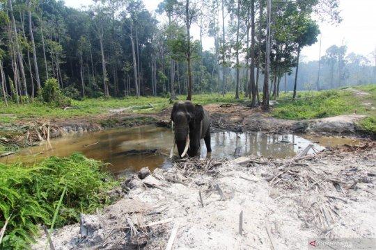 BKSDA Riau halau dua ekor gajah ke habitatnya