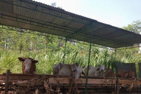 Penyewaan kandang ternak di Batang ramai peminat