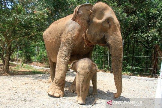 Bayi gajah Sumatera di CRU Alue Kuyun Aceh Barat