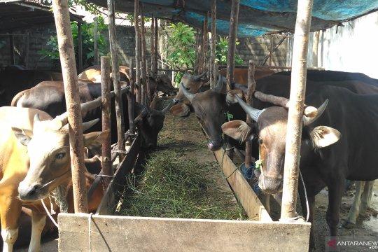 Penjualan hewan qurban di Jambi meningkat
