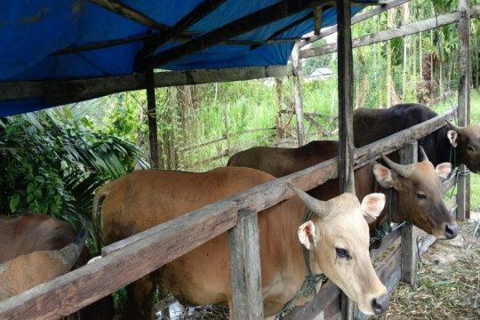 300 ekor sapi untuk Idul Adha 1440 H disiapkan Pemkab Keerom-Papua