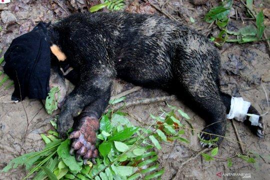 Beruang Madu terkena jerat