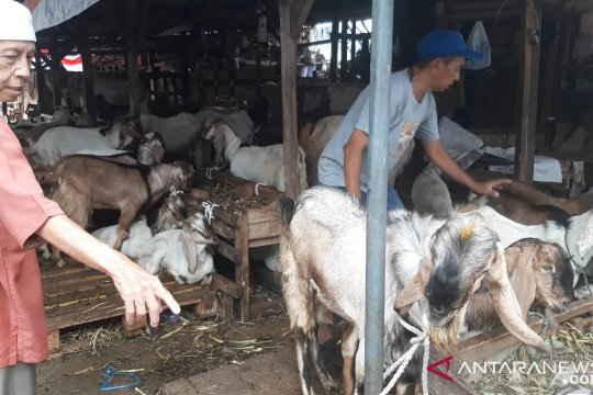 Pedagang kambing Tanah Abang perkirakan puncak jual beli Minggu pagi