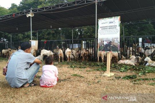 Daging kurban Masjid Al Azhar disalurkan ke desa hingga Papua