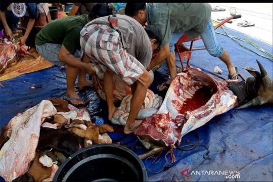 Dinas Pertanian Kapuas temukan segumpal cacing dalam perut sapi kurban