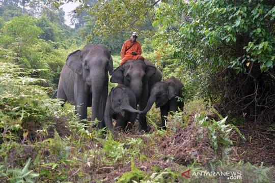 Gajah sumatera di Tesso Nilo stres akibat Karhutla