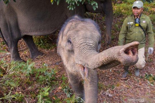 Populasi Gajah Sumatera terus menyusut