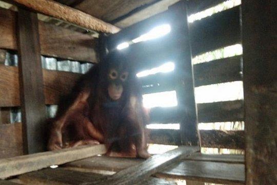 Warga Sampit serahkan orangutan setelah dirawat tujuh tahun
