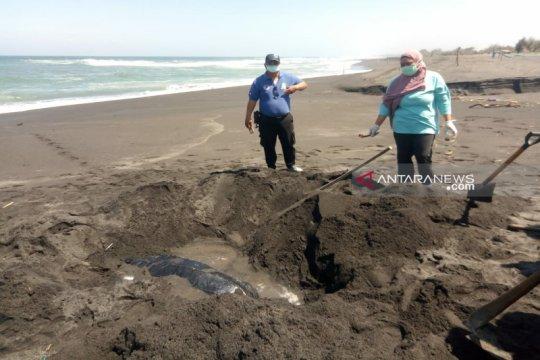 Di pantai selatan Kulon Progo penyu belimbing ditemukan membusuk