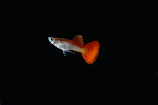 Ikan guppy bercorak bendera turut rayakan kemerdekaan RI