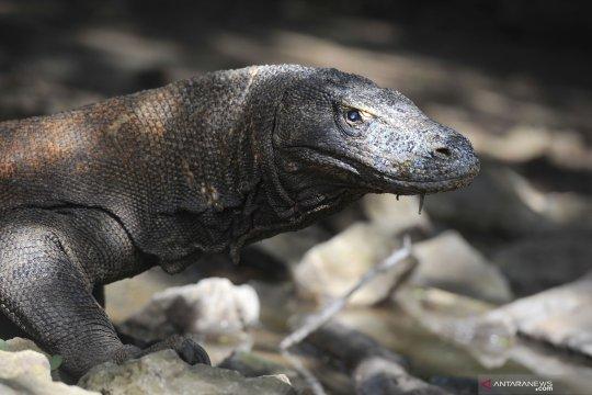 Aksi perburuan liar dan ancaman terhadap kepunahan Komodo
