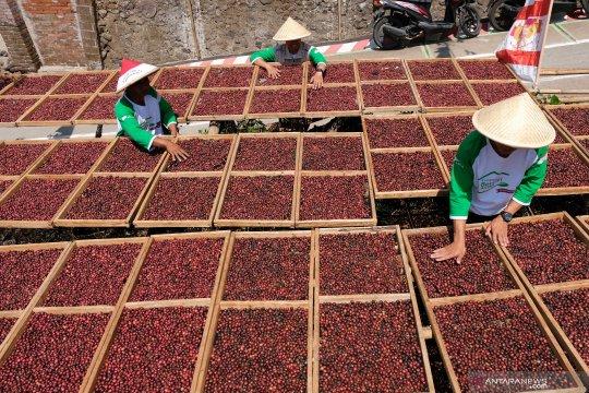 Syukuran panen kopi Bumi Phala