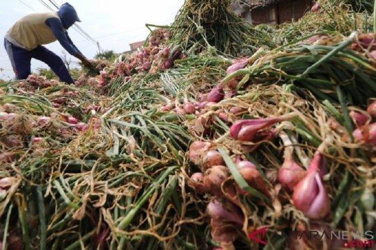 Panen bawang merah di Nganjuk bagus, lebih dari 20 ton per hektare