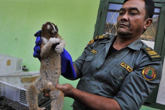 Penyelamatan Kukang Jawa