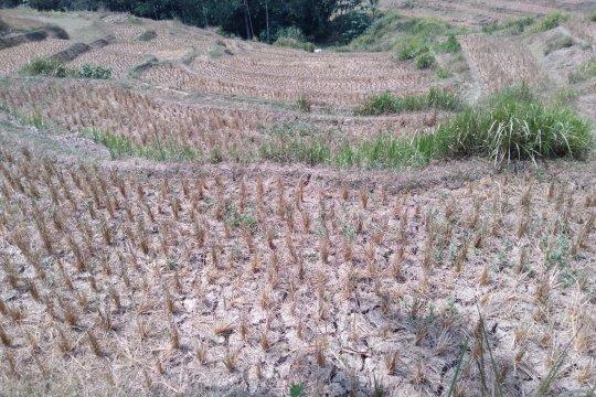 Ratusan hektare sawah di Karawang puso