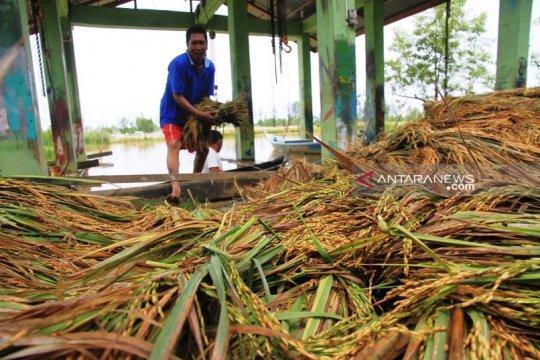 Luapan sungai  Meureubo rendam 20 hektare sawah di Aceh Barat