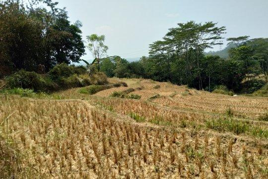 Lebih dari 5.000 hektare sawah di Karawang kekeringan