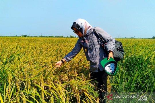 Batan bantu perbaikan varietas padi lokal Landak dengan teknik radiasi