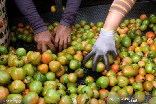 Harga tomat anjlok hanya Rp1.000/kg di Sigi dan Poso, ini penyebabnya
