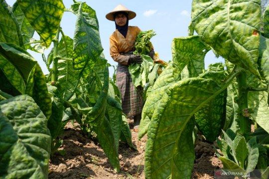 Belum dibeli pabrik, petani Temanggung terpaksa jual tembakau eceran