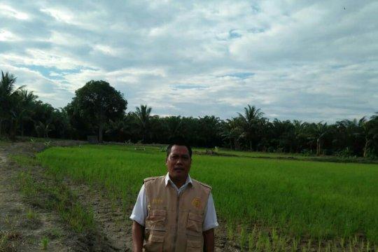 Puluhan hektare sawah di Mamuju di landa Kekeringan
