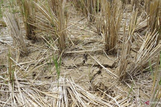 150 hektare lahan  sawah di Tanah Datar kekeringan akibat kemarau