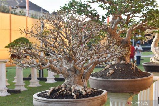 Pameran bonsai Grebeg Suro