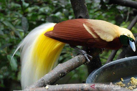 Melihat Cenderawasih di Bird Watching Isyo Hills Jayapura