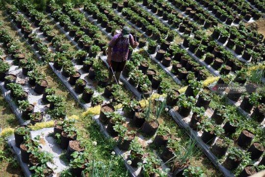 Petani stroberi di Tulungagung gagal panen akibat serangan jamur