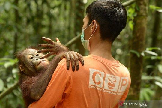 Belasan Orangutan di Nyaru Menteng sudah terserang ISPA