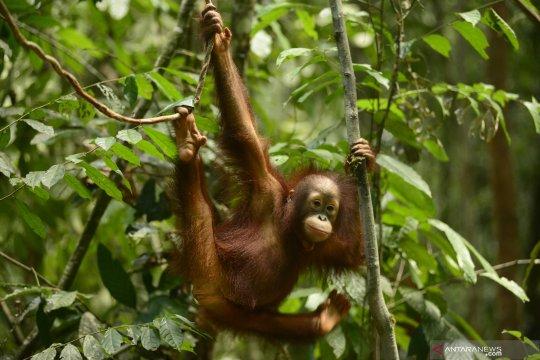 YKAN-OrangutanDays implementasikan pariwisata berkelanjutan