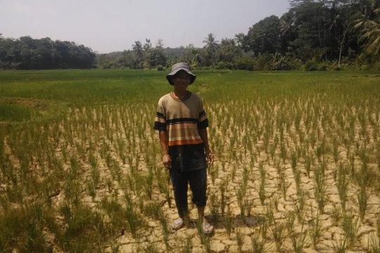 429 hektare tanaman pangan di Lebak gagal panen