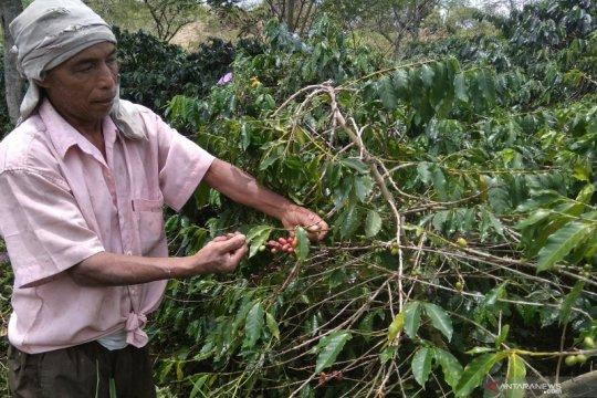 PPN ekspor biji kopi Gayo pukul petani
