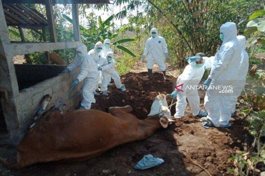 Penyebab kematian sapi di Gunung Kidul bukan antraks
