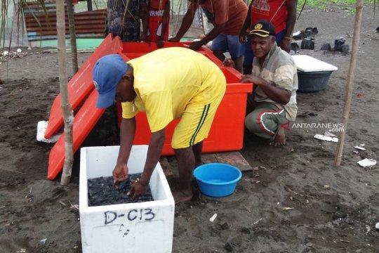 Pegiat konservasi di Raja Ampat lepas 400 lebih tukik ke laut