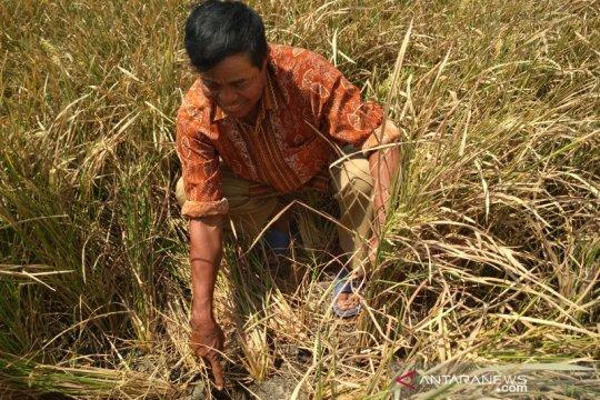 Puluhan hektare tanaman padi di Pati puso akibat kekeringan